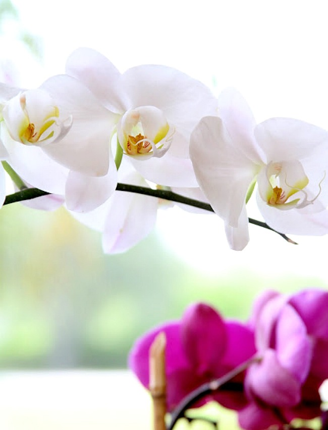 4 Simple Tips to Care for your Orchids