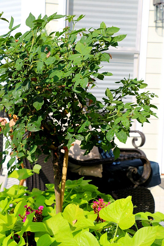Knock Out Rose Container Garden Tips