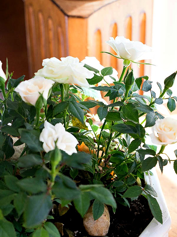 How To Care For Miniature Rose Plants Indoors Duke Manor Farm