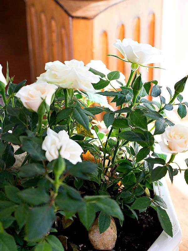 Miniature Rose Plants Indoors