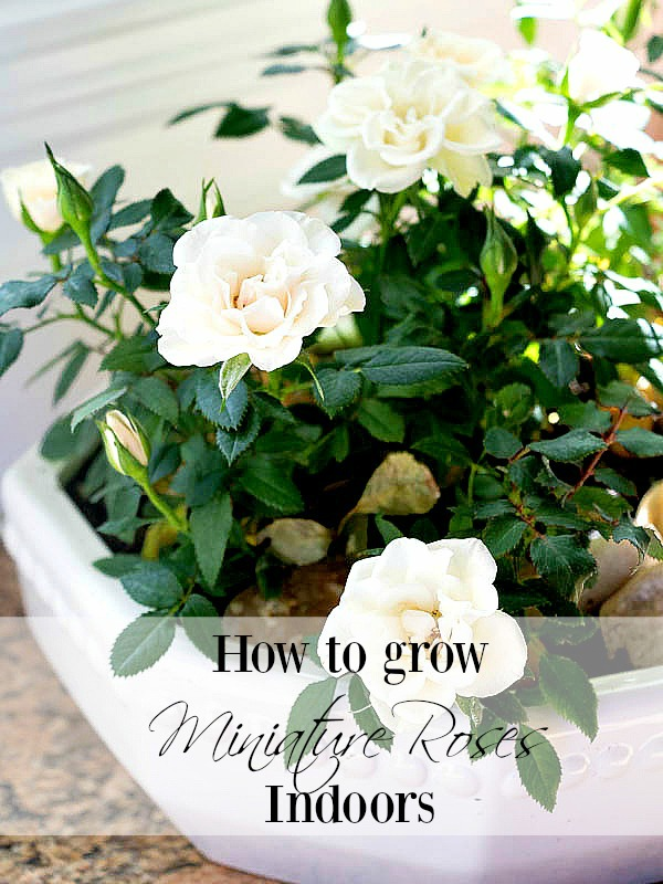How to care for miniature rose plants indoors duke manor farm how to care for miniature rose plants indoors workwithnaturefo