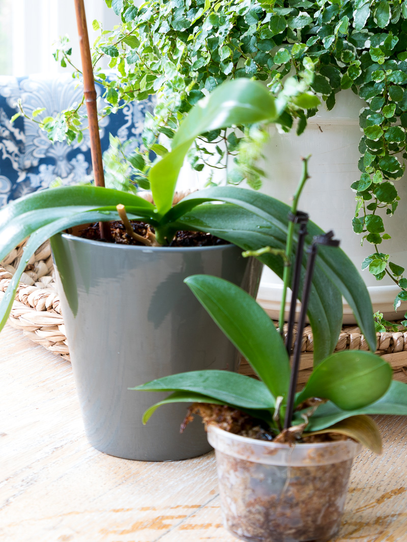 The simple truth to growing beautiful Orchids