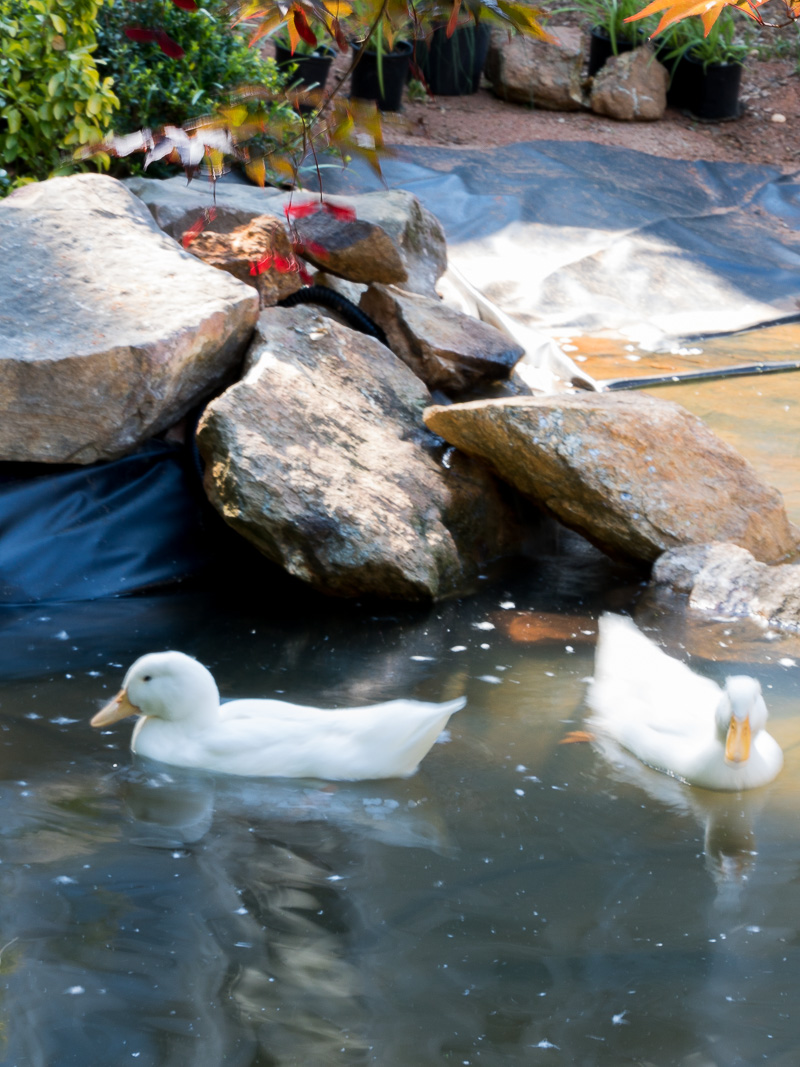 How to create a duck pond that every duck will love duke for Creating a pond