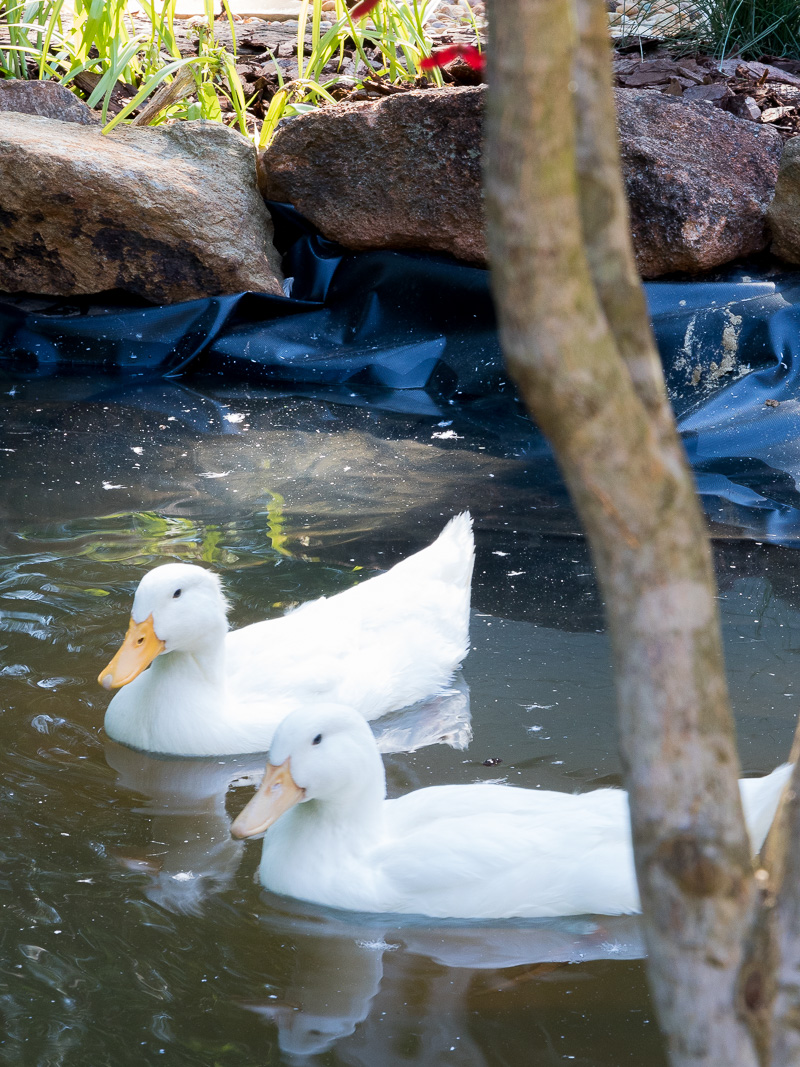 How to create a duck pond that every duck will love duke for Design duck pond