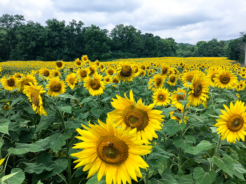 The Most amazing Sunflower field you will ever see