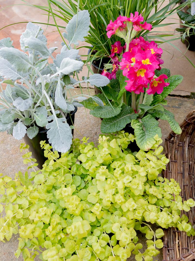 Hanging Spring Basket Using Live Plants And Flowers Duke Manor Farm