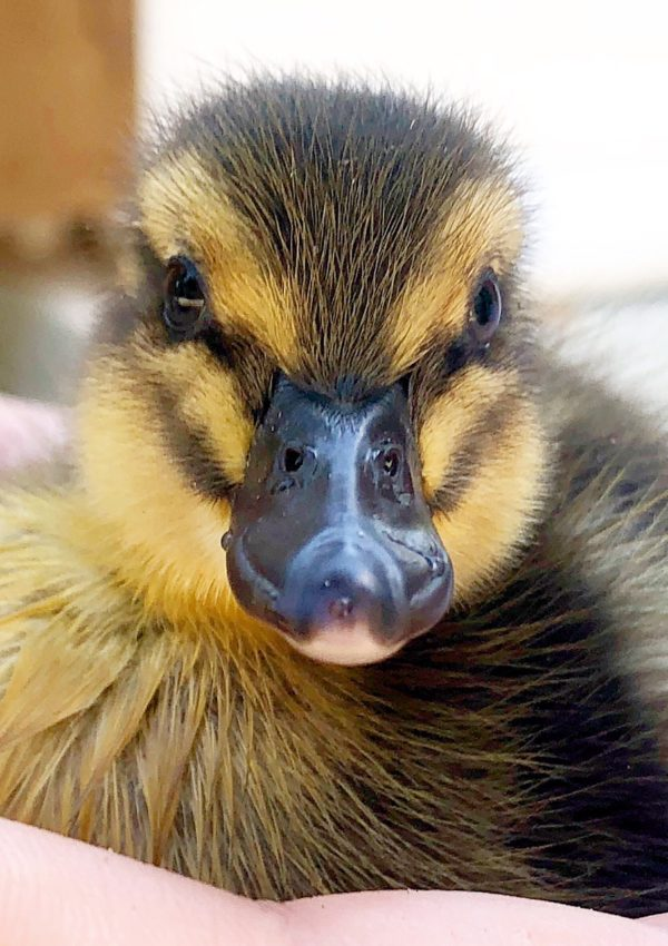 Happenings at Duke Manor Farm…new ducks, chicks and unfinished projects